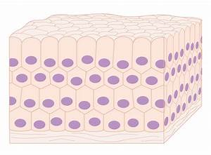 File Diagram Showing How Normal Cells Make Up The Tissue