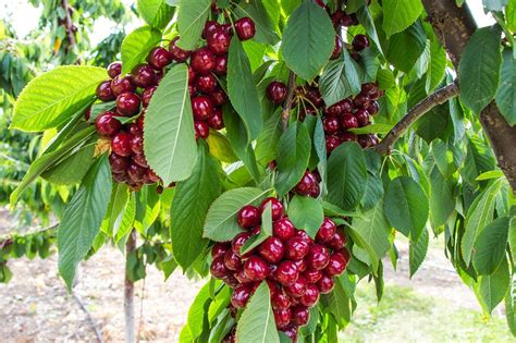 leaf tree with cherry like fruit free photo cherry tree fruit kelowna free image on pixabay 1527350