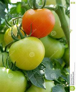 Red And Green Tomatoes Royalty Free Stock Photos - Image ...