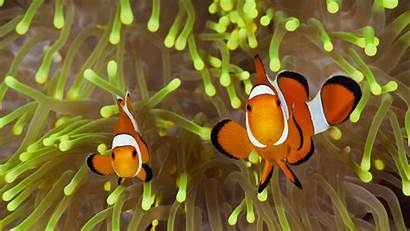 Clown Bing Anemonefish Fish Wallpapers Nature Peces