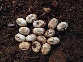 bonafide farm black snake eggs