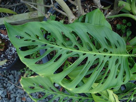 swiss cheese vine monstera obliqua  swiss cheese