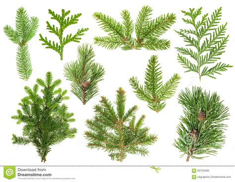 Kiefer Fichte Unterschied by Set Of Coniferous Tree Branches Spruce Pine Thuja Fir