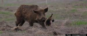 Boar Attacks on Humans images