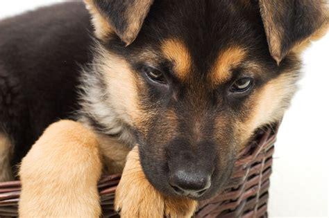 Schäferhund Welpen Erziehen