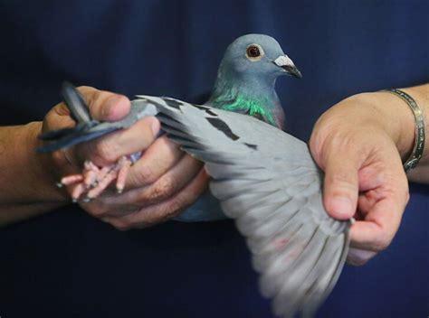 นกพิราบเยอรมัน ผงาดแชมป์ศึกนานาชาติพัทยา ครั้งที่ 5 กวาด5 ...