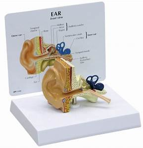 Human Ear Anatomy Model W   Patient Education Card