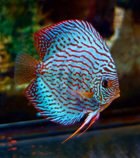 discus blue turquoise fish tank discus fish cool