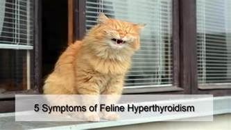 signs of hyperthyroidism in cats 5 symptoms of feline hyperthyroidism