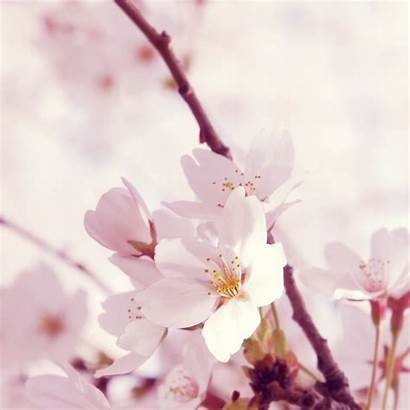 Peach Blossom Flower Ipad Wallpapers Delivery Delaware
