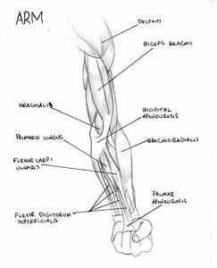 Arm Muscle Diagram By Fmdc On Deviantart