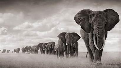 Elephant Walking Row Wallpapers Animals
