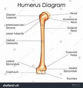 Medical Education Chart Biology Humerus Diagram Stock