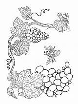 Coloring Pages Grapes Grape Fruits Printable Recommended Mycoloring sketch template