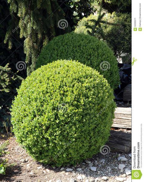 how to shape shrubs boxwood round shape stock photo image 59330571