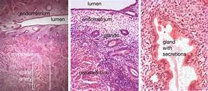 Uterine Histology In The Menstrual Cycle  Left And Centre