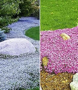 Bodendecker Blau Blühend Winterhart : bodendecker kollektion pink und bla bodendecker stauden ~ Michelbontemps.com Haus und Dekorationen