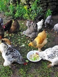 Comment élever Des Poules Pondeuses : comment bien choisir la nourriture de vos poules poules gallinas et huevos ~ Dode.kayakingforconservation.com Idées de Décoration