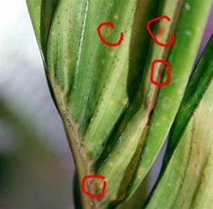 Yucca Palme Braune Blätter : palmen und co schwerwiegende pflanzenkrankheiten o nur ~ Lizthompson.info Haus und Dekorationen