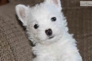 Highland Terrier White Westie Puppies
