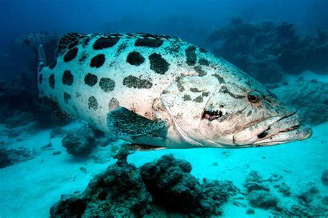 grouper reef cod potato tukula epinephelus barrier hole fish cods