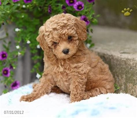 amazing poodle dog puppies pictures tail  fur