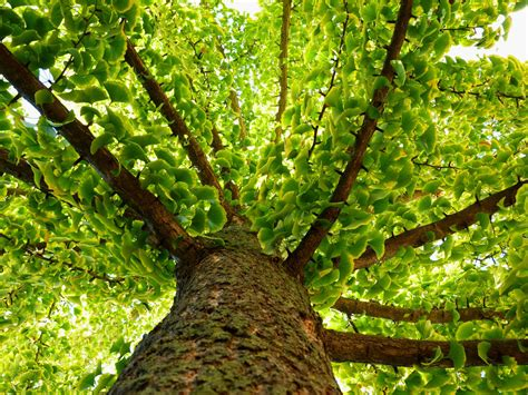 ginkgo biloba tree care  growing guide