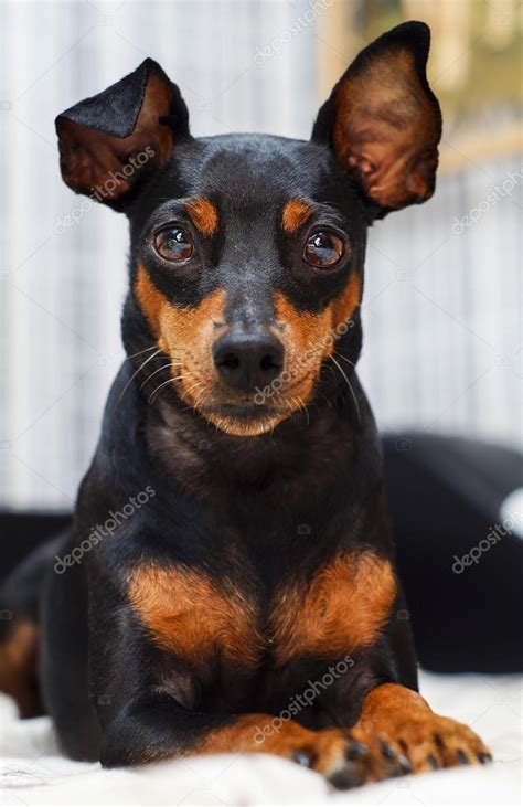 black  brown small dog  big ears  lying
