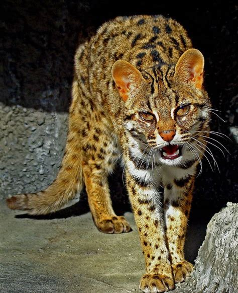 endangered cats species iriomote feline prionailurus most eyes golden bengalensis through cat leopard asian wild felidae domestic asia subspecies japanese