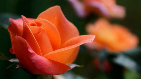 Wallpaper Orange Rose, Rose Flowers, Hd, 4k, Flowers, #1718