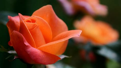 wallpaper orange rose rose flowers hd  flowers