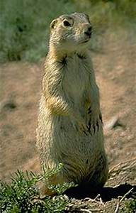 Gunnison's Prairie Dogs - Curecanti National Recreation ...
