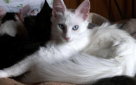 Turkish Angora History, Personality, Appearance, Health