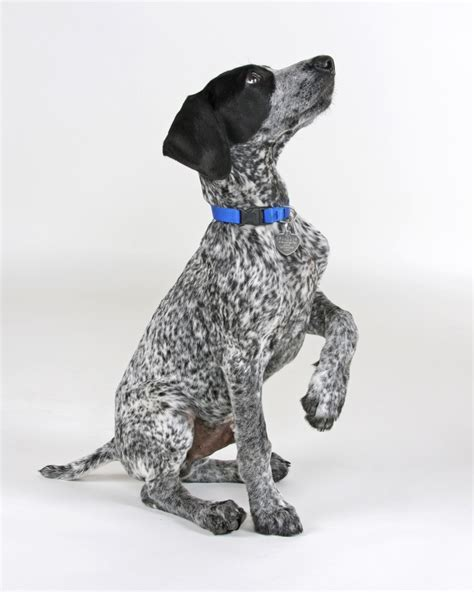100 best German Short Haired Pointers images on Pinterest