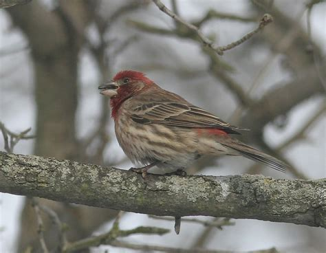 size black and white finches birds of ohio pictures to pin