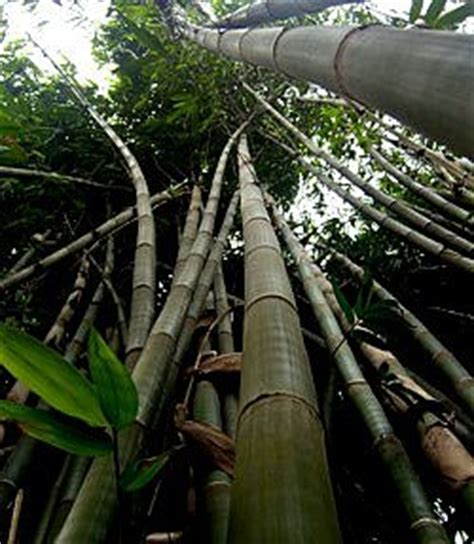 Growing Bamboo Gets Boost