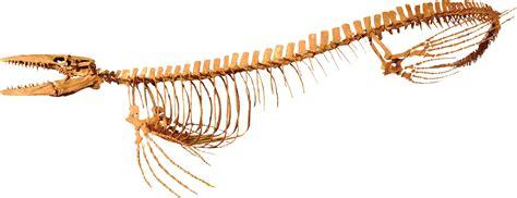 Tylosaurus kansasensis by Triebold Paleontology, Inc.
