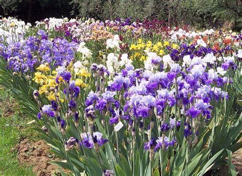 fiore iris foto iris in fiore foto di giardino dell iris firenze