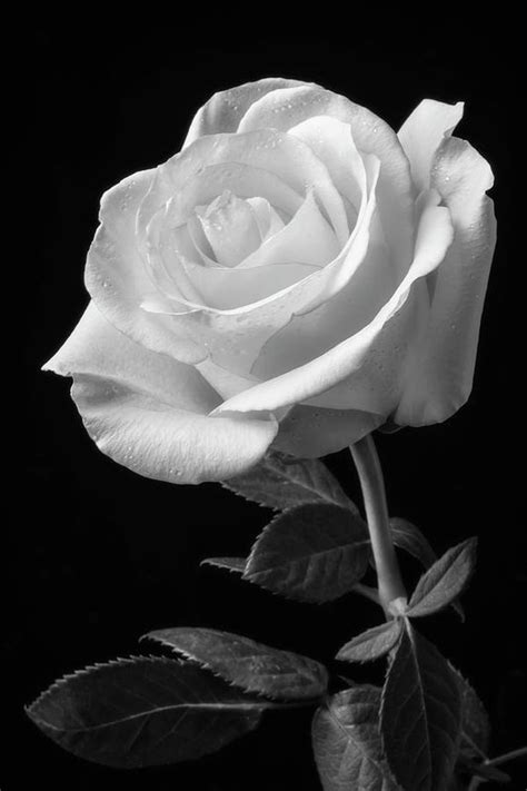 Single White Rose Black And White Art Print by Garry Gay