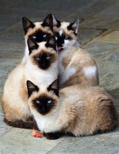 siamese cats 12 reasons why you should never own siamese cats