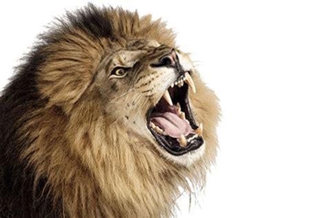 Gambar Kepala Singa Mengaung Terbaru gambarcoloring