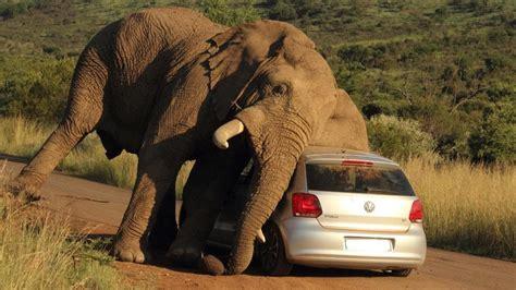 cognition vehicle elephant v car tourists stunned as safari gets