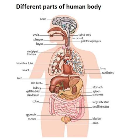 Diagram Of Part Of Human by Human Diagram Healthiack