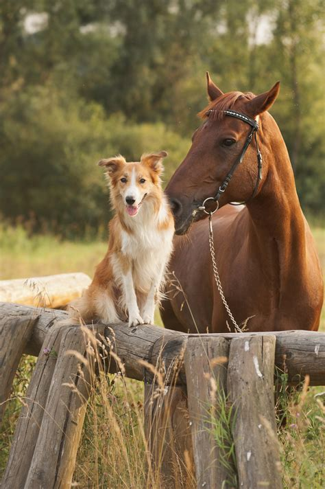 horses dogs dog together border collie hors