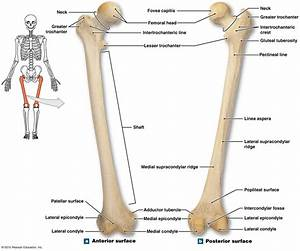 Femur Diagram Unlabeled