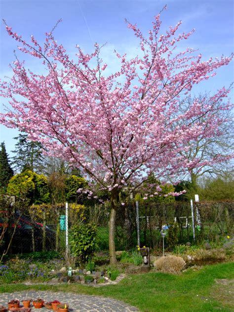 fruehlingskirsche fruehe zierkirsche accolade prunus