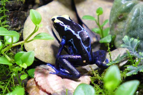 dendrobates tinctorius naib true sipaliwini dart frog