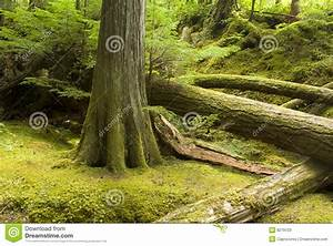 Temperate Rainforest And Undergrowth Stock Image