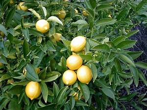 Gardening 101  Lemon Tree
