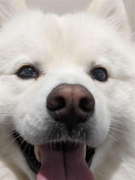 Cloudy Eyes On 2 Year Old Samoyed Samoyeds